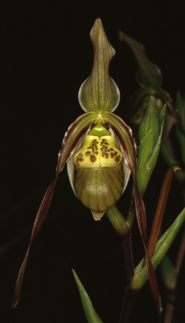 significance of orchids in astavarga 365 days of orchids – day 488 – prosthechea baculus simon pugh-jones may 6, 2018 no comments on 365 days of orchids – day 488 – prosthechea baculus general news at yesterday's devon show it was great to have so many fragrant orchids on our display.