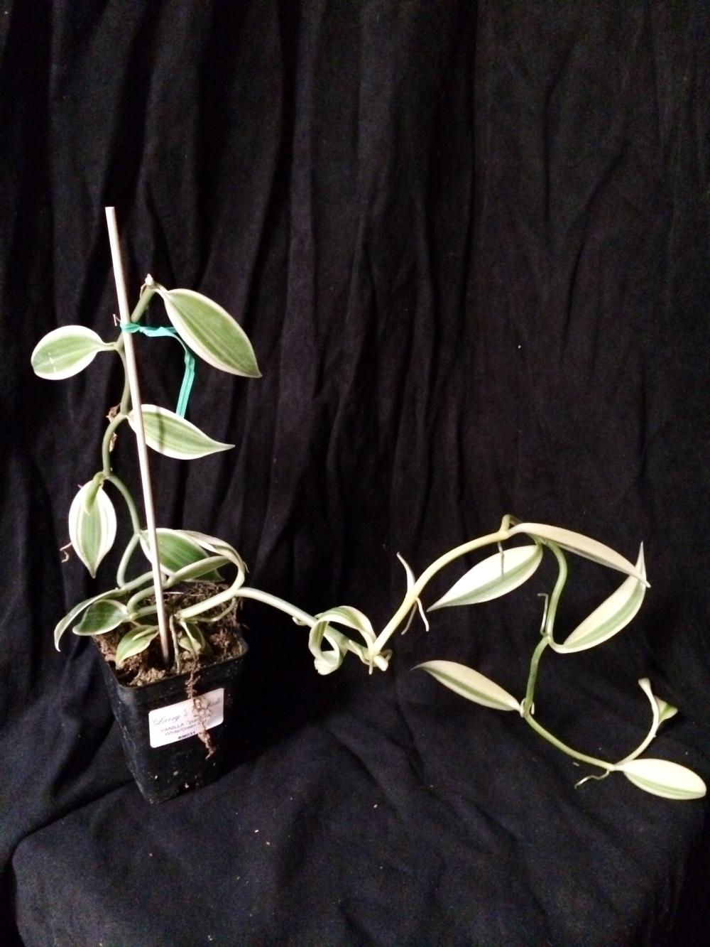 Vanilla planifolia