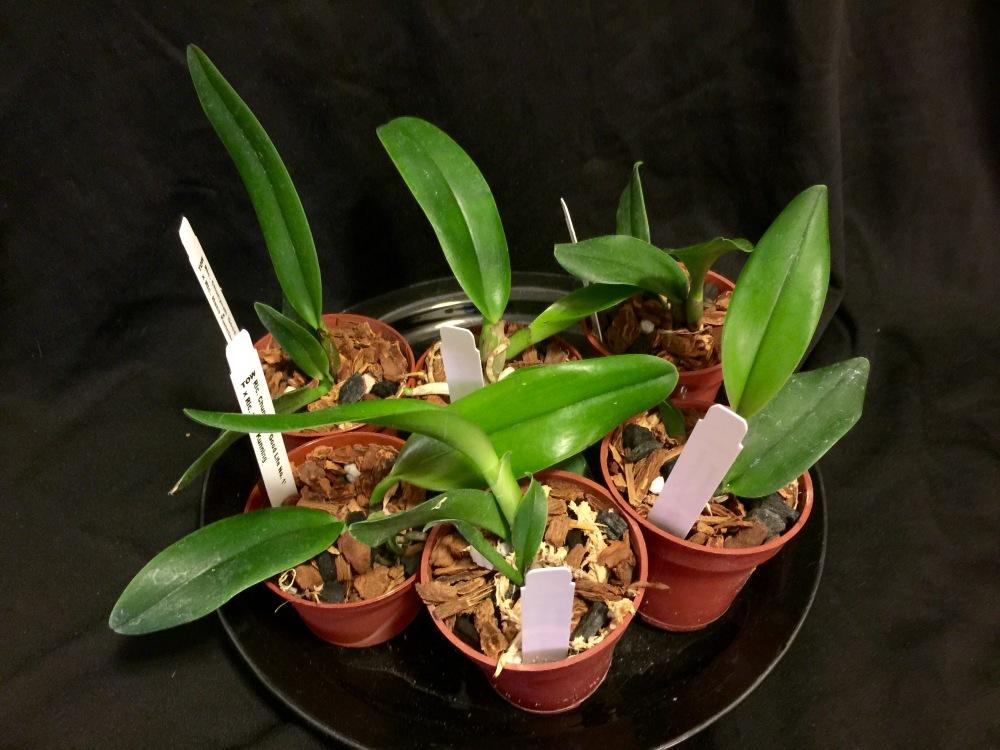 Cattleya seedlings